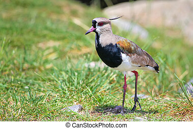 Southern Lapwing Vanellus chilensis on the bank of Plate...