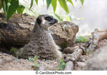Meerkat lookout - Watchful meerkat keeps a lookout. This...