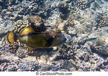 Underwater world- triggerfish (Balistidae)
