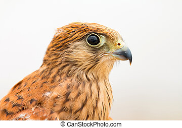 Young kestrel with a beautiful plumage - Portrait of a young...