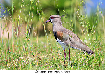 Southern Lapwing (Vanellus chilensis) on the bank of Plate...