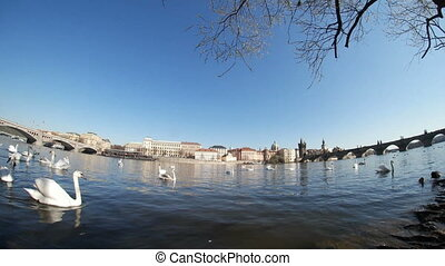 White swans swimming together not far from the Charles bridge in a sunny day