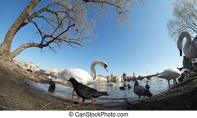 Two swans among doves and ducks on the Vltava bank shot with an optical effect