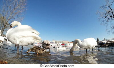Flock of white swans on the Vltava river bank in Prague in early spring