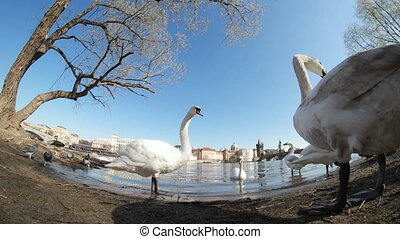 Several white swans shot with a curvy optical effect in Prague on a river bank