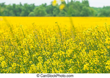 Rapeseed field (Brassica napus) Yellow flowers and blue sky...