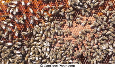 Larvae of bees. Honeycombs are developing larvae of bees...