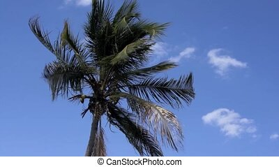 coconut palm tree on windy blue sky - The fronds of a tall...