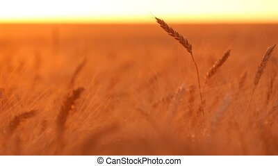 Waving spiklets and  spikes of golden wheat  are in the rays of splendid sunset