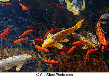 Colorful decorative fish float in an artificial pond, view...