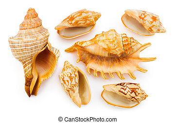 Sea conches - Group of sea conches isolated on white...