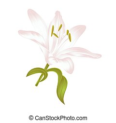 White Lily Lilium candidum, a white flower with leaves...