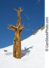 Dead Tree Above Snow