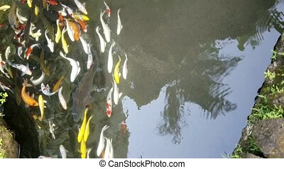 Exotic Koi fish bank. - Bank of exotic Koi fish swimming in...