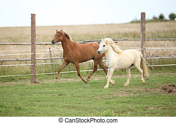 Two ponnies together on pasturage in summer