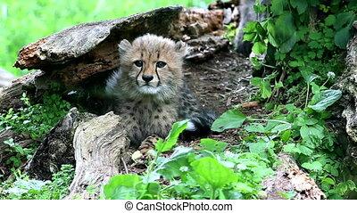 Cheetah (lat. Acinonyx jubatus). Large felid of the...