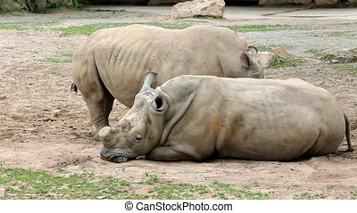 Southern white rhinoceros (lat. Ceratotherium simum simum)....
