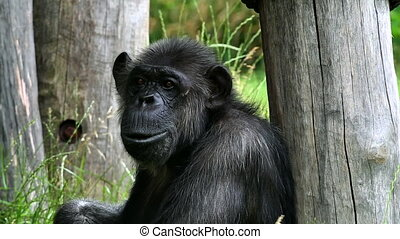 Common chimpanzee (lat. Pan troglodytes). Specie of great...