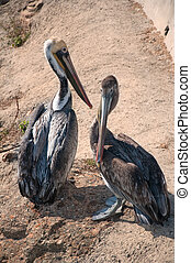 Pelican Beach - Two brown pelicans close together by the...