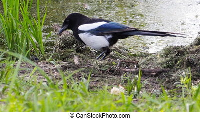 Magpie eats food - Magpie pecks and eats her food