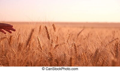 Female hand caresses the spikes of ripe wheat at sunset in slow motion