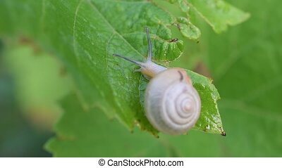 Snail in shell crawls out of frame. Macro shot. - Snail in...