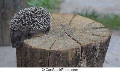 Hedgehog walks on wooden stump - Hedgehog walks on round...