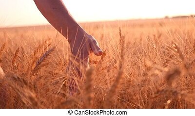 Female hand touches upon the spikes of ripe wheat in summer in slow motion