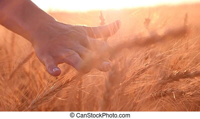 Woman`s hand touches upon the spikes of ripe wheat in summer in slow motion