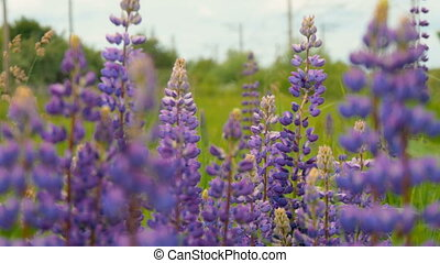 Purple lupines blooms in the fields. A gentle breeze blows,...