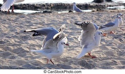 Many gulls fight for food, walk on the sand and take off -...