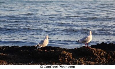 Two seagulls stand on the seashore and look down, enjoy...