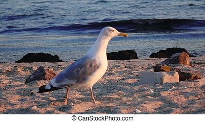 Gull walks the sand and looks for food on the seashore. Slow motion