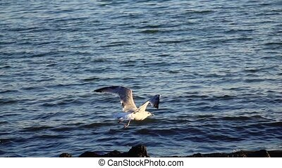 Seagull soars into the sky leaving behind splashing waves....