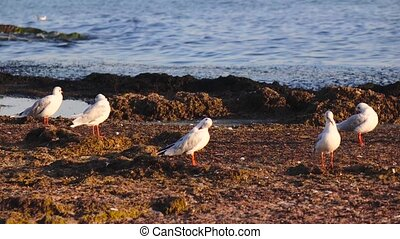 Many seagulls stand on the beach and brush their feathers...