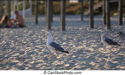 Hungry gull on the beach looking for food finds and eats....