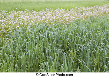 Cultivated cereals of various green shades, Russia