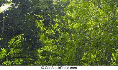 Leaves of trees - on a rainy summer day - Leaves of trees -...