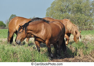 Workhorse. Grazing in the pasture. Meadow in the valley of...