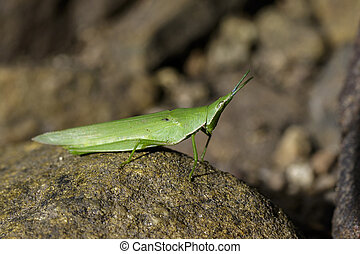 Image of Slant-faced or Gaudy grasshopper on the rocks....