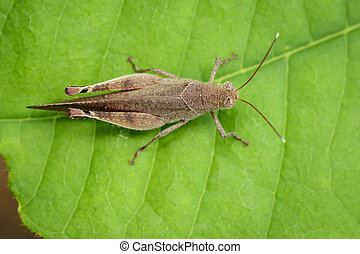 Image of Brown Short-horned Grasshoppers(Acrididae)on green...