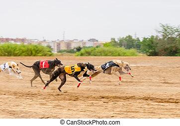 Grayhounds race