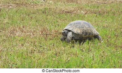 Turtle slowly moving through the scene on green grass