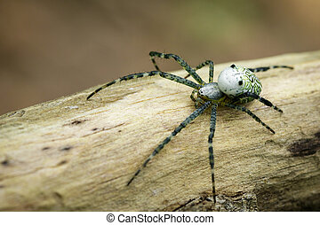 Image of Cyrtophora Moluccensis Spider(Male)(Doleschall, 1857., Tent Spider) on the timber on nature background. Insect Animal