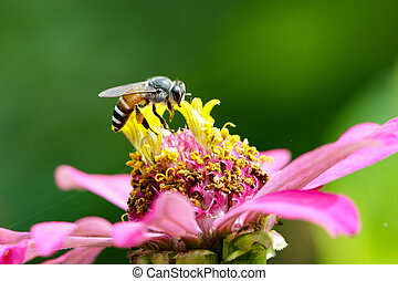 Image of bee on pollen. Insect Animal