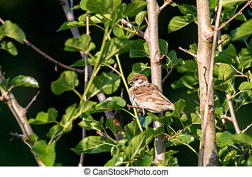 animal little bird sparrow in green thickets - Image of an...