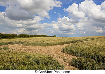 yorkshire wolds wheat - a ripening wheat crop with a...