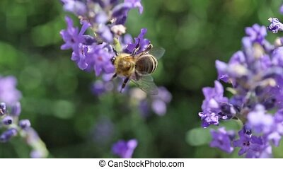 The bee pollinating a lavender flower footage - Closeup view...