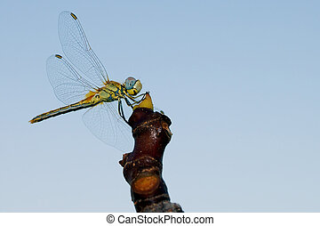 Odonata - dragonfly on tree branch with blue background