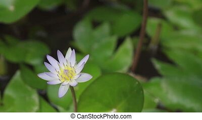 Flowers of white Lotus have revealed in a reservoir,